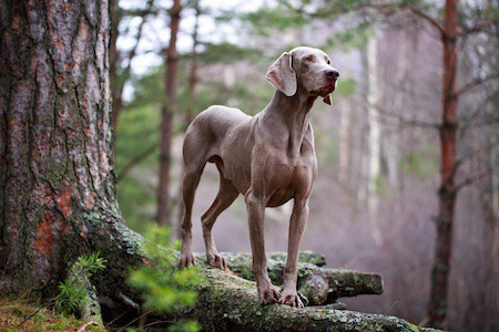 weimaraner beside a tree