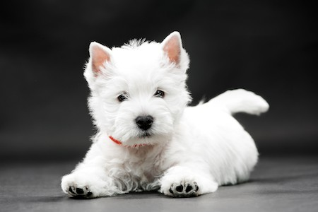 west highland white terrier on black background
