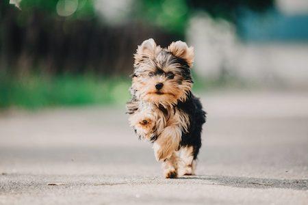 yorkipoo puppy running