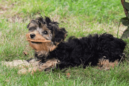 yorkipoo with a piece of wood in mouth