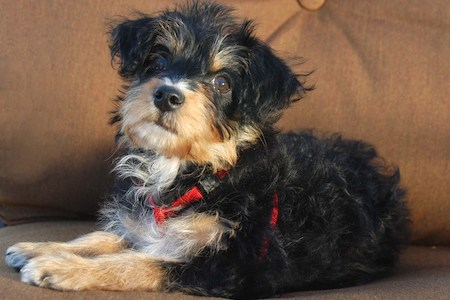 yorkipoo on couch