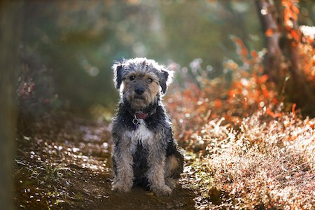 yorkipoo standing in an autumnal park