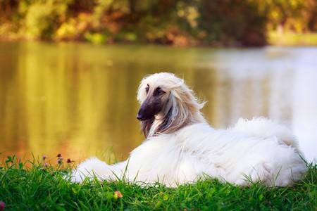 afghan dog on the lake