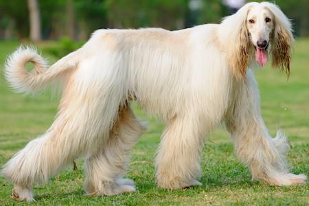 afghan hound dog walking on lawn