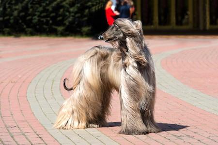 afghan hound looking back