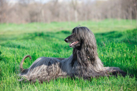 afghan hound lying on the grass in the park