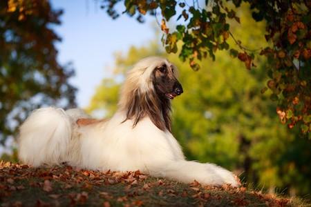 afghan hound sitting on dried leaves