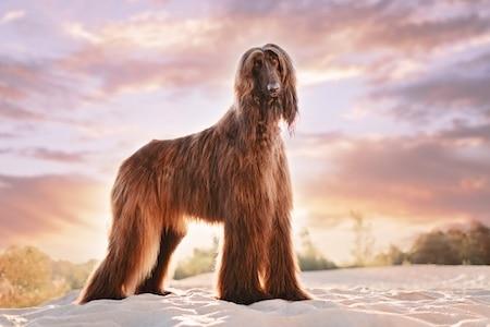 afghan hound standing on sand