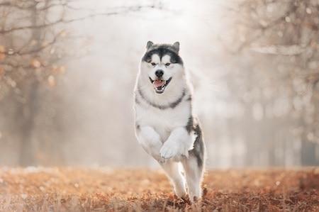 alaskan malamute running in park