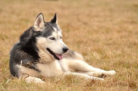 alaskan malamute lying on dried grass