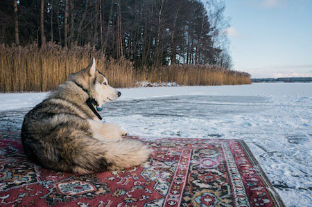 alaskan malamute lying on carpet on snow