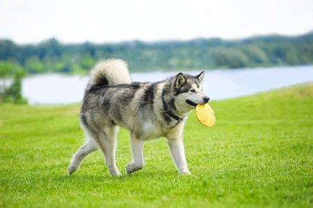 alaskan malamute with frisby disk in his mouth