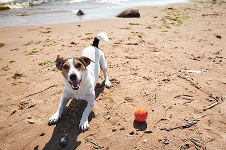 dog playing with ball on the beach