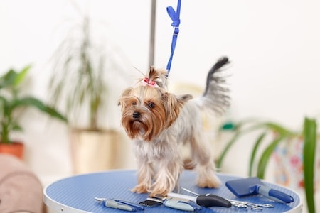 yorkshire terrier on the table