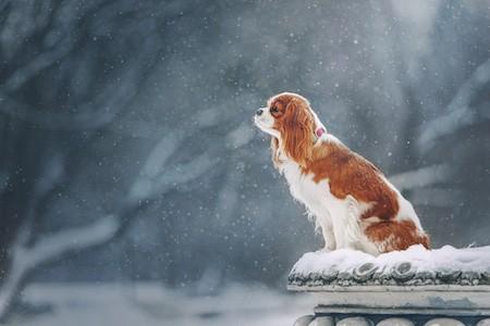 cavalier king charles spaniel on snow