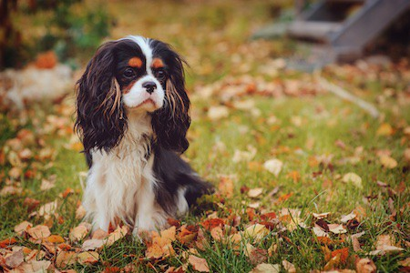 cavalier king charles spaniel relaxing outdoor