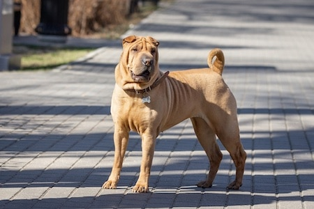 chinese shar-pei standing on the road