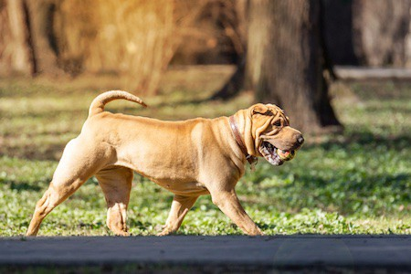 chinese shar-pei on the road with ball in mouth