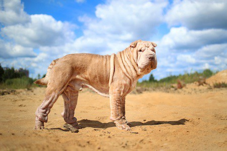 chinese shar-pei standing on sand
