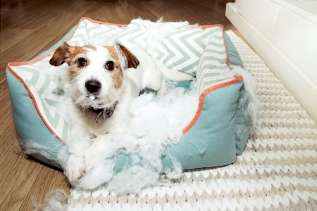 dog chewing bed