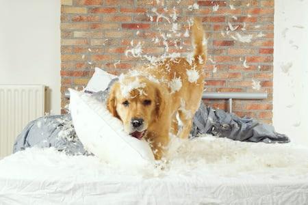 dog destroying pillow