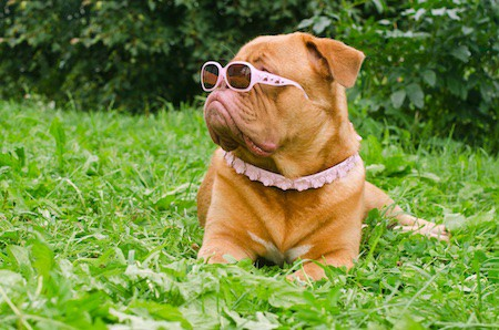dogue de bordeaux wearing pink glasses and collar