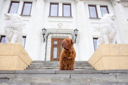 dogue de bordeaux on stairs