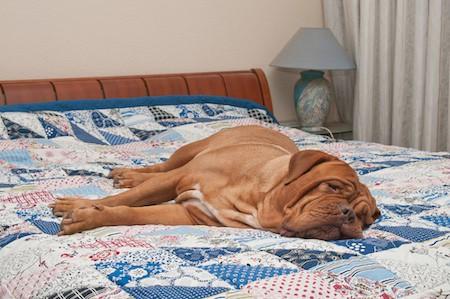 dogue de bordeaux lying on the bed