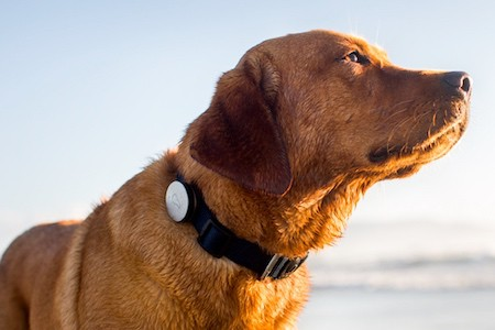 brown dog with gps tracker