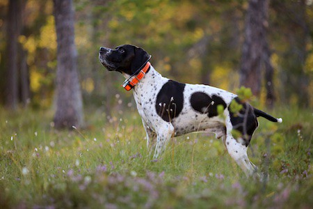 dog with GPS tracker standing on forest