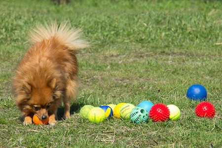dog playing with colored balls on the grass