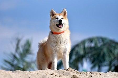 japanese akita on sand