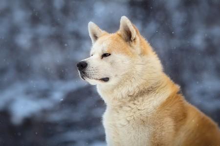 japanese akita winter portrait