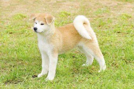 japanese akita standing on lawn