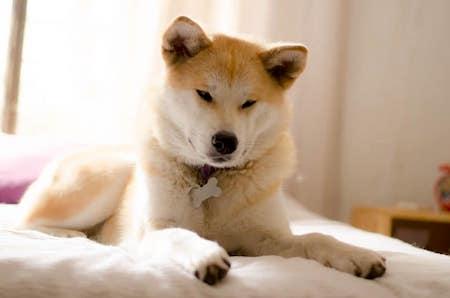 japanese akita on bed