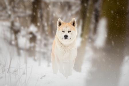 japanese akita on snow