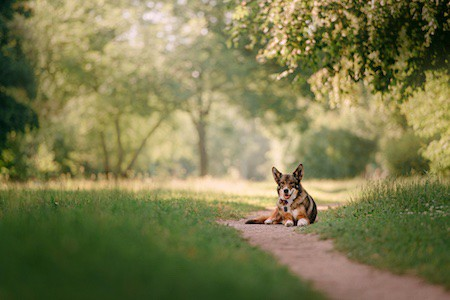 dog with gps tracker lying down in the park