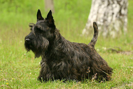 scottish terrier on yard