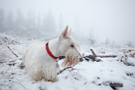 scottish terrier on snow