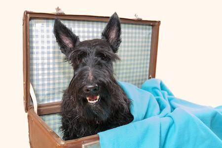 scottish terrier inside a vintage box