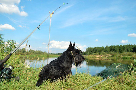 scottish terrier with fishing rod resting on the shoreline of a river