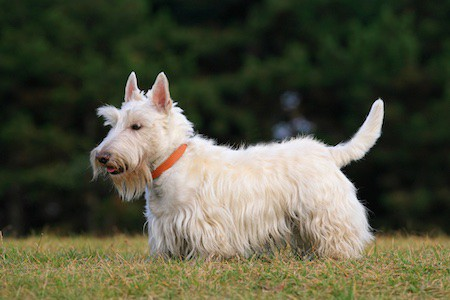 scottish terrier on green grass lawn