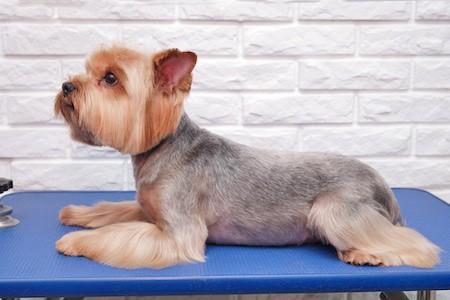dog lying on grooming table