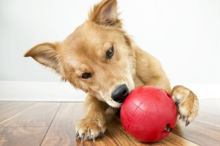 brown dog playing with red dispensing toy