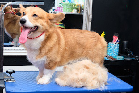 corgi stands on a grooming table near the coat after trimming
