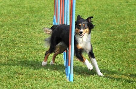dog doing an agility training