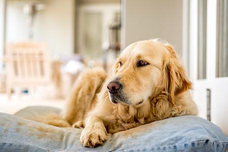 golden retriever resting on cushion